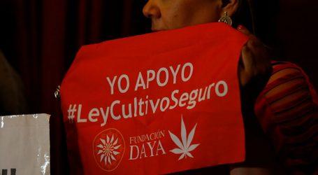 Cultivo colectivo de cannabis medicinal fue absuelto por corte de San Bernardo