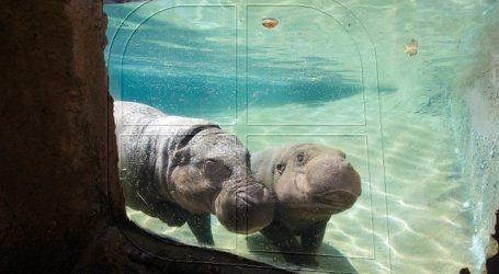 Buin zoo presentará cría de hipopótamo pigmeo en peligro de extinción