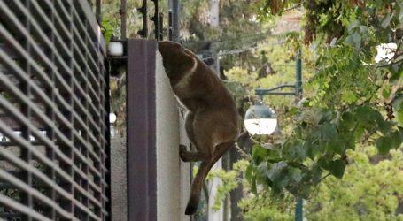 Autoridades reinsertan a su hábitat a puma capturado en Colina