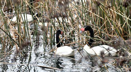 Registro histórico de cisnes de cuello negro en el Río Cruces y Chorocamayo