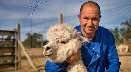 """Encuentran en alpacas el """"anticuerpo más fuerte del mundo"""" contra el COVID-19"""