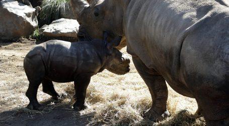 Buin Zoo presenta primer rinoceronte blanco nacido en Latinoamérica en pandemia