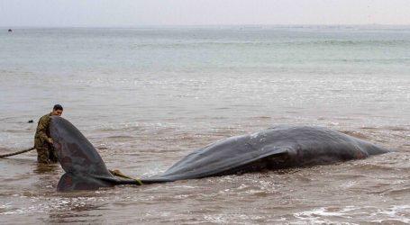 Cachalote varado en playa de Arica es devuelto al mar luego de varios intentos