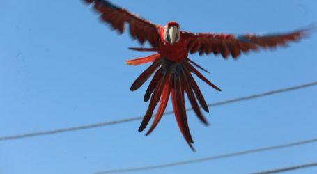 PDI investiga si guacamayo visto en Copiapó tiene dueño o sería comercio ilegal