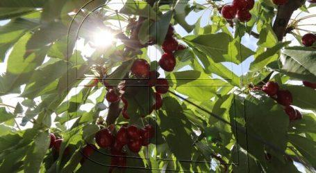 Ministro Walker destaca programa de mejoramiento genético del cerezo