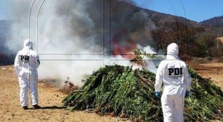 PDI incauta 3.602 plantas de cannabis sativa en quebradas de Catapilco